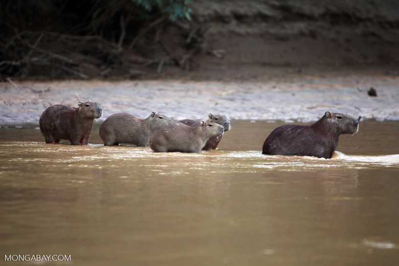 Capybaras in a river [colombia_3437]
