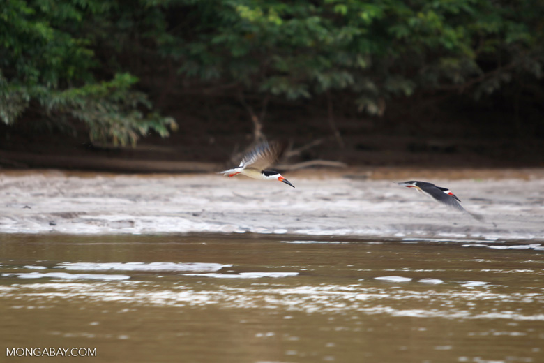 Black skimmers [colombia_3461]