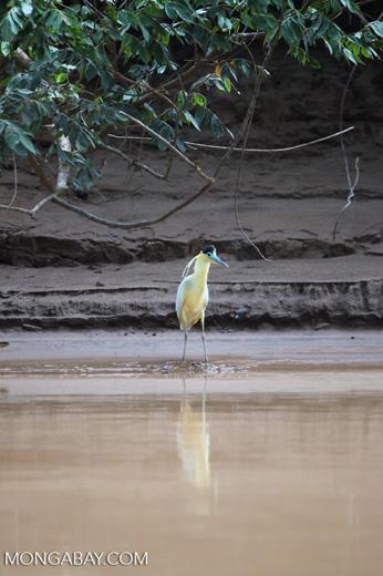 Capped Heron (Pilherodius pileatus) [colombia_3493]