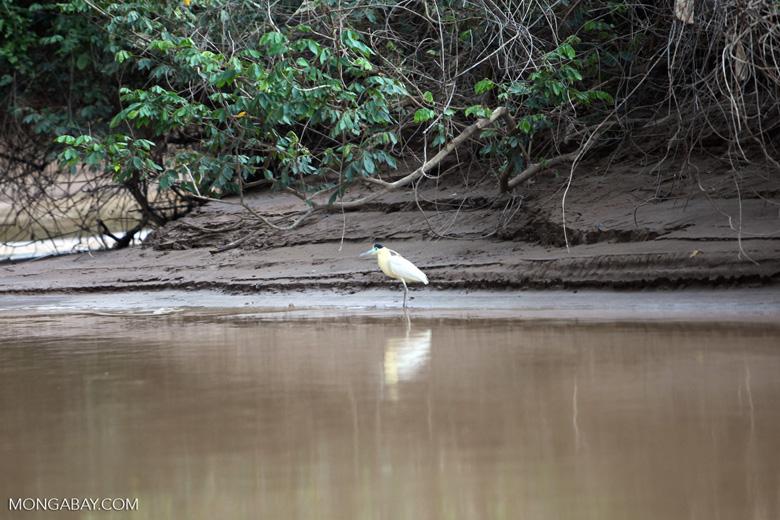 Capped Heron (Pilherodius pileatus) [colombia_3502]