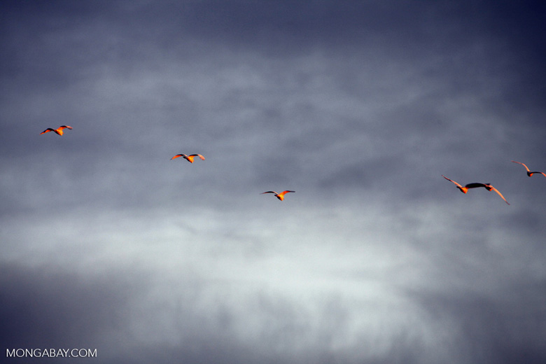 Scarlet ibis in flight [colombia_3556]