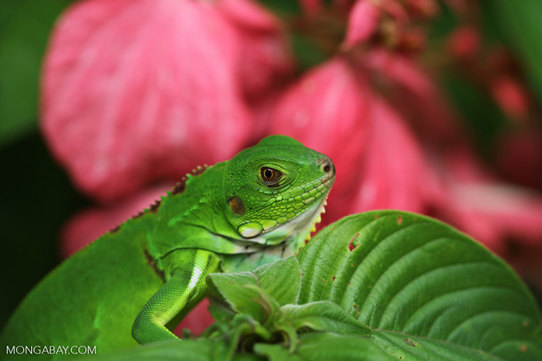 Profile of a common green iguana (Iguana iguana) [colombia_3626]