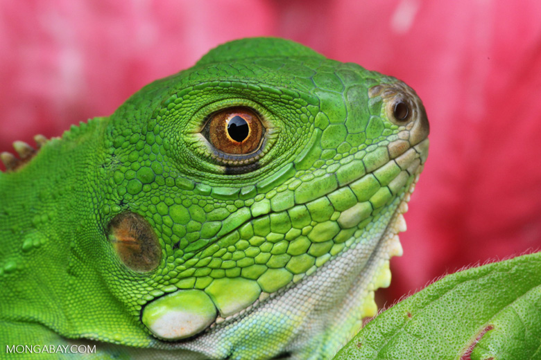 Common green iguana, up close and personal [colombia_3633]