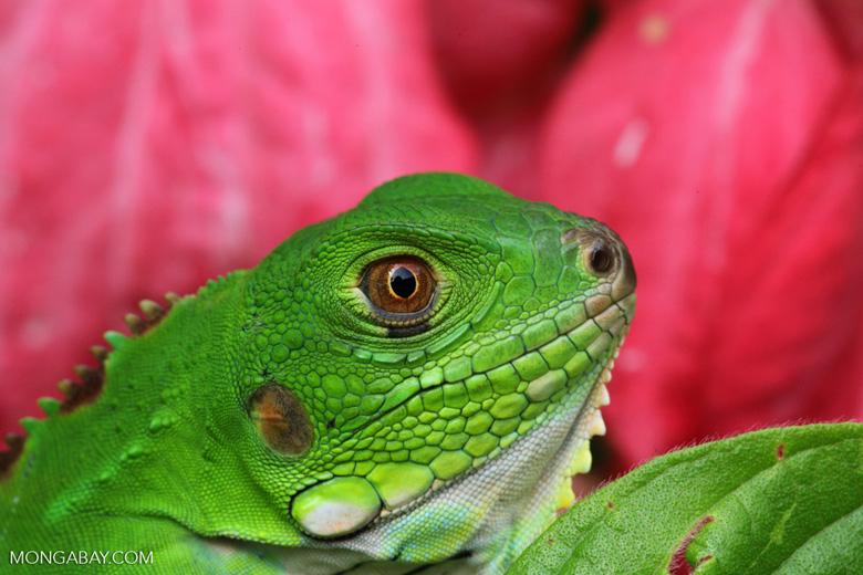 Green iguana (Iguana iguana), up close and personal [colombia_3635]