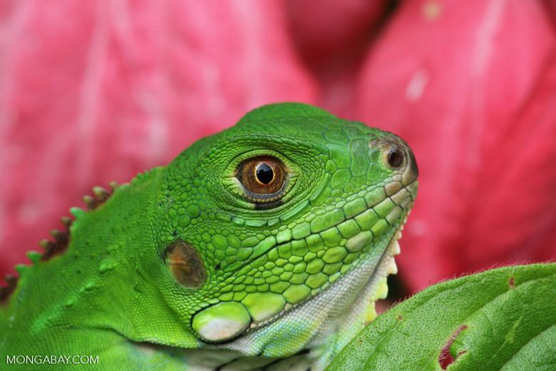 Headshot of a common green iguana (Iguana iguana)