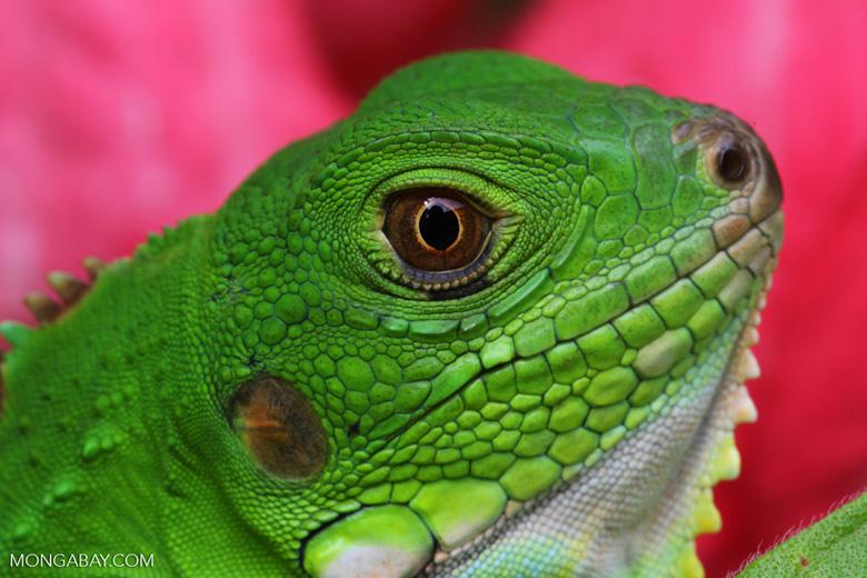 Young common green iguana (Iguana iguana) [colombia_3642]