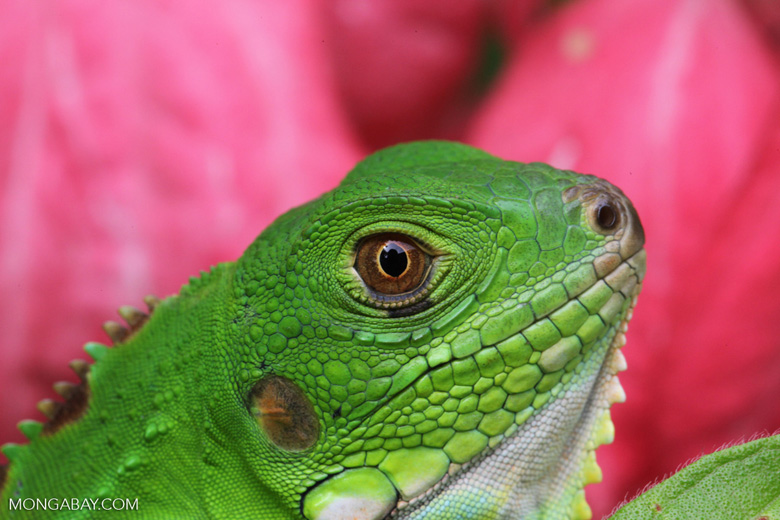 Profile of a green iguana