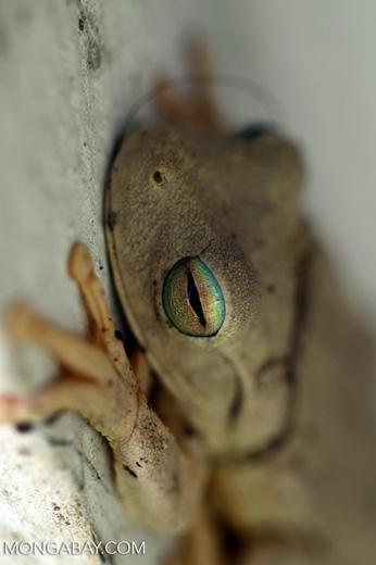 Hypsiboas crepitans tree frog