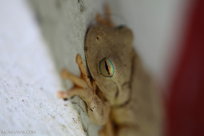 Hypsiboas tree frog [colombia_3755]