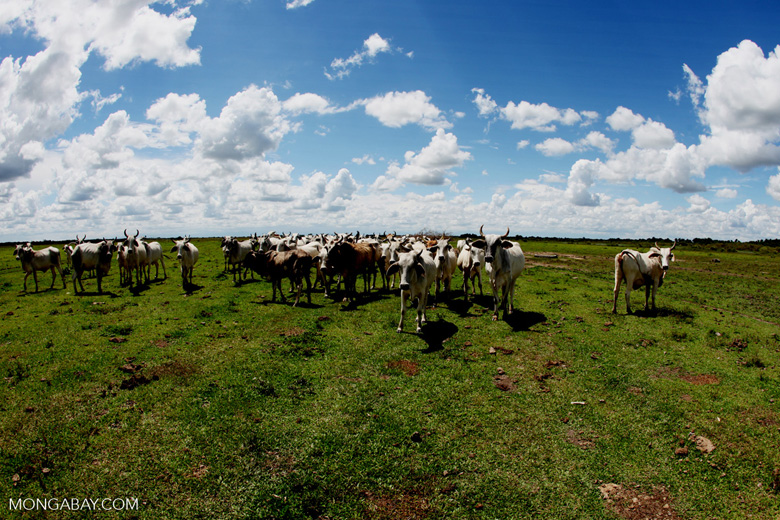 Cattle on a Colombian ranch