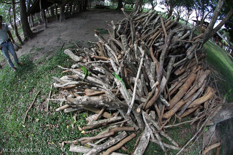 Iguanas on a wood pile