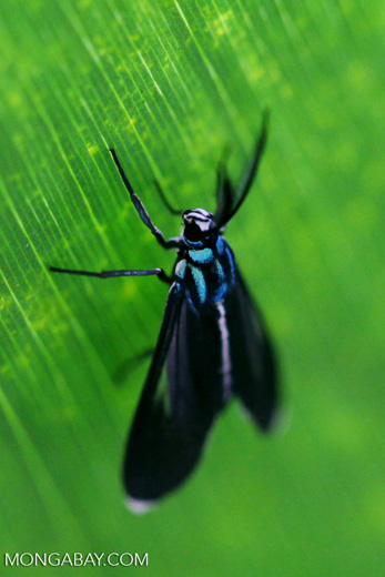 Black and turquoise moth