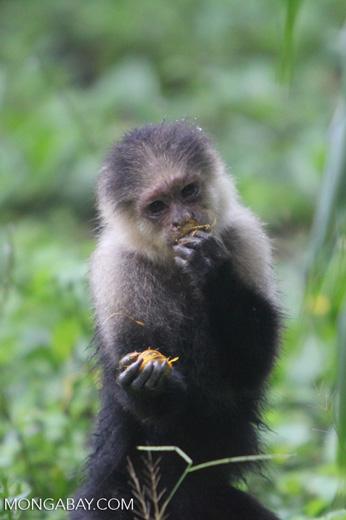 White-headed capuchin monkey [colombia_4072]