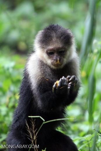 White-headed capuchin monkey [colombia_4074]