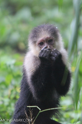 White-headed capuchin monkey [colombia_4076]
