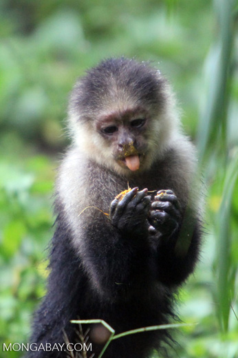 White-headed capuchin monkey [colombia_4078]