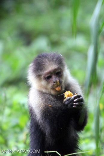 White-headed capuchin monkey [colombia_4086]