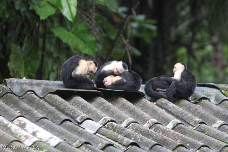 Group of capuchin monkeys on a roof