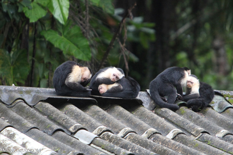 Group of capuchin monkeys resting on a roof