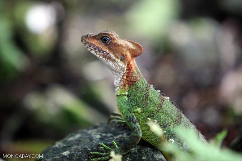 Red-headed basilisk