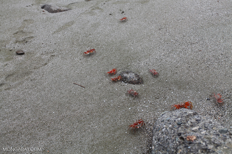 Red crabs on Playa Palmera [colombia_4154]