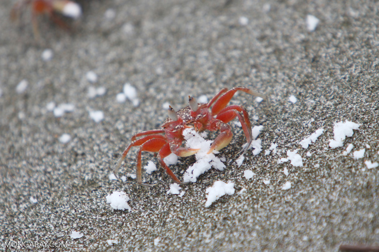 Red crab on Playa Palmera [colombia_4171]