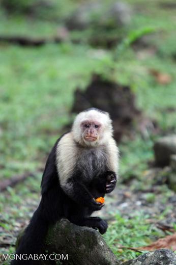 White-headed capuchin monkey eating fruit [colombia_4279]