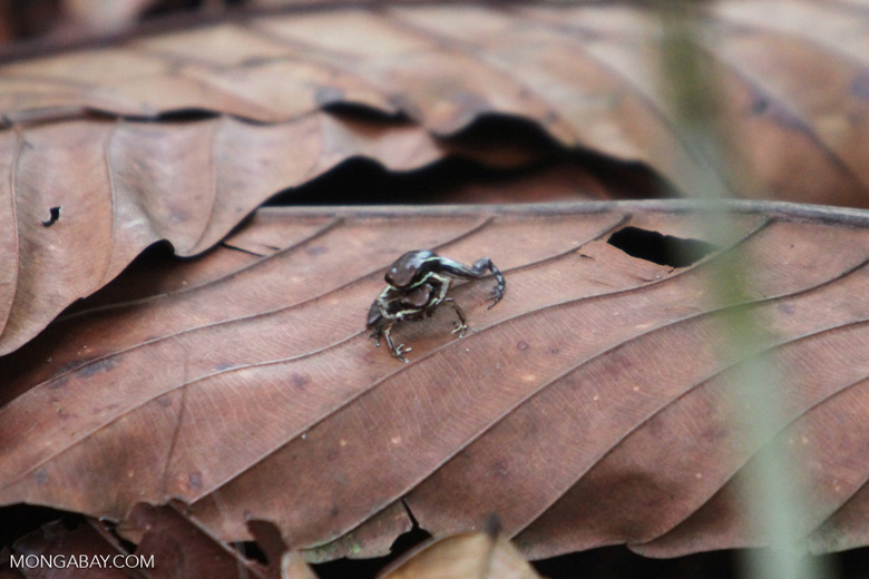 Marbled Poison Frogs mating