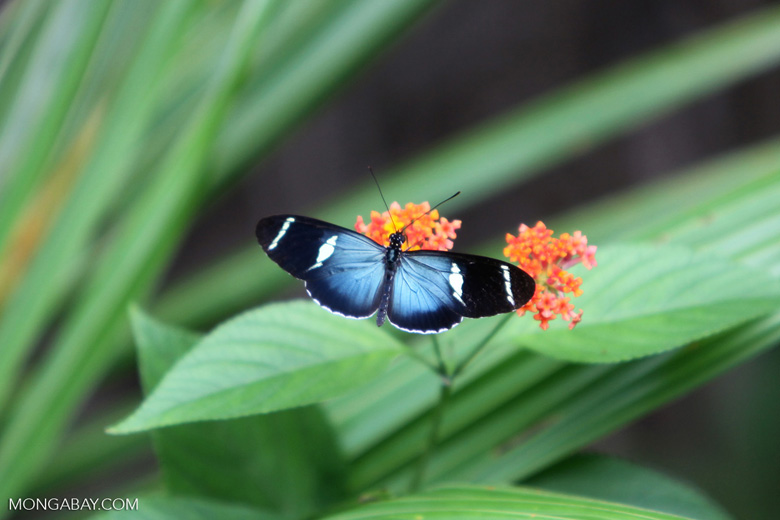 Postman butterfly, Heliconius sp (blue form)