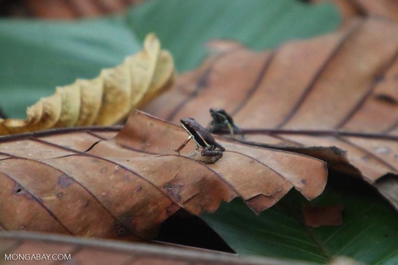 Marbled Poison Frog (Epipedobates boulengeri) [colombia_4299]