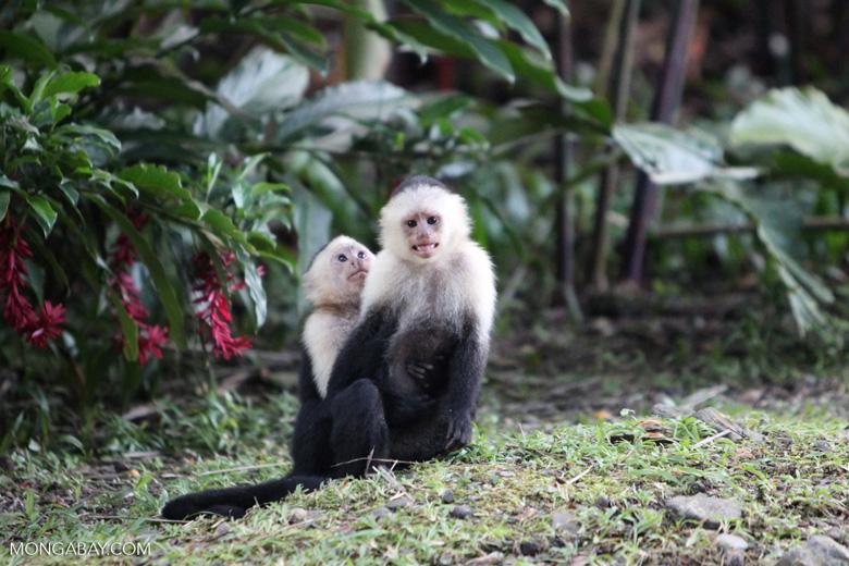 White-headed capuchin monkeys grooming [colombia_4300]