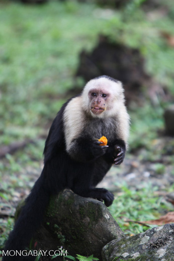 White-headed capuchin monkey eating fruit [colombia_4316]