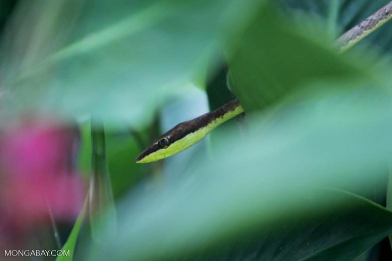 Brown Vine Snake (Oxybelis aeneus)  [colombia_4333]