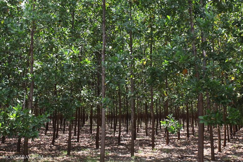 Acacia plantation in Colombia [colombia_4392]