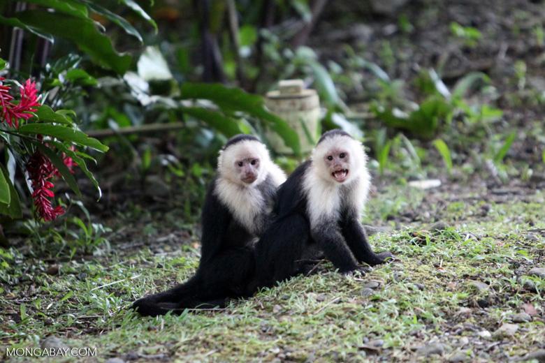 White-headed capuchins