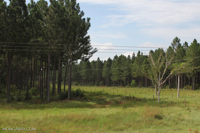 Pine plantation in Colombia