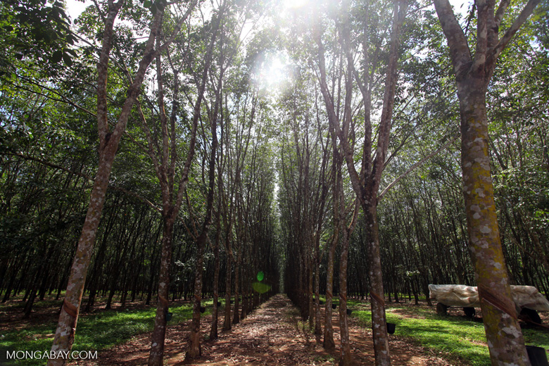 Rubber plantation in eastern Colombia