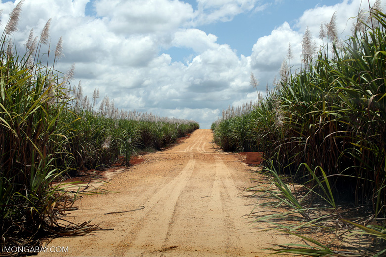 Sugar cane in Colombia