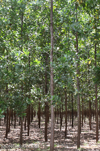 Acacia plantation in Colombia [colombia_4508]