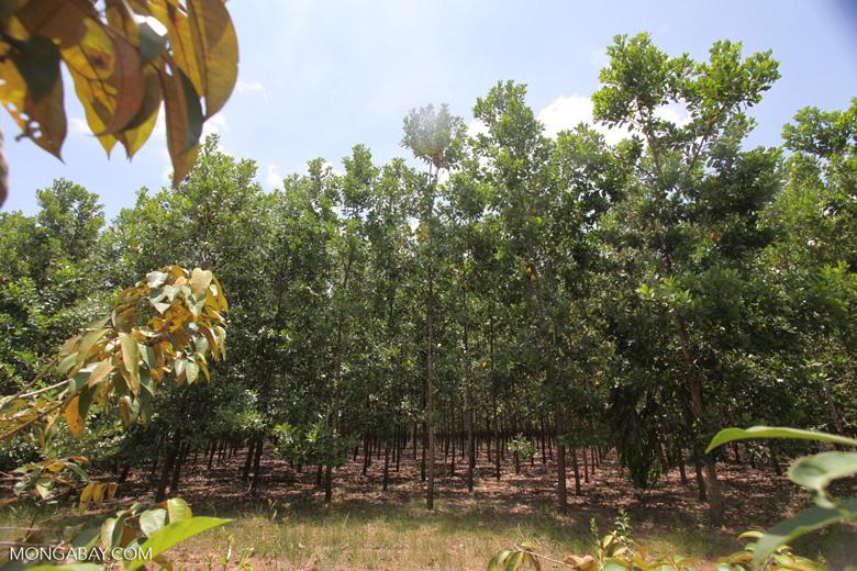 Acacia plantation in Colombia [colombia_4538]