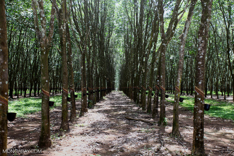 Industrial rubber plantation [colombia_4590]
