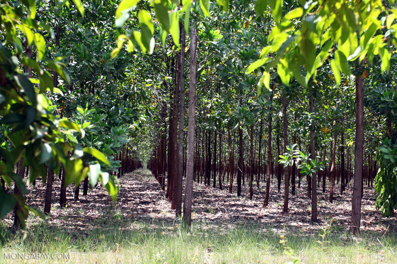 Acacia plantation in Colombia
