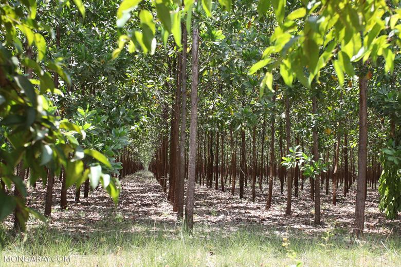 Acacia plantation in Colombia [colombia_4625]