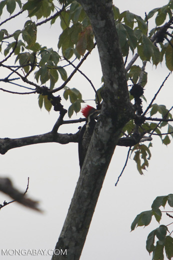 Lineated Woodpecker (Dryocopus lineatus) [colombia_4702]