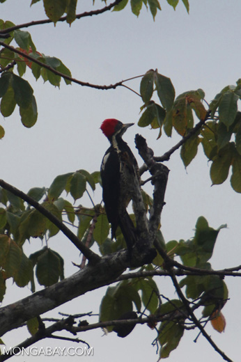 Lineated Woodpecker (Dryocopus lineatus) [colombia_4716]