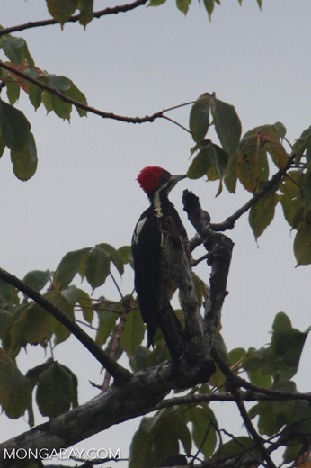 Lineated Woodpecker (Dryocopus lineatus) [colombia_4718]