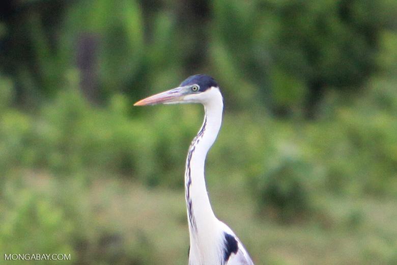 Cocui heron [colombia_4739]