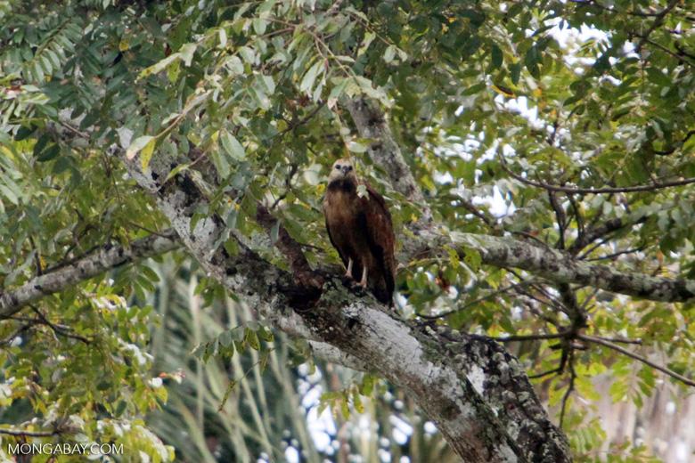 Hawk [colombia_4773]