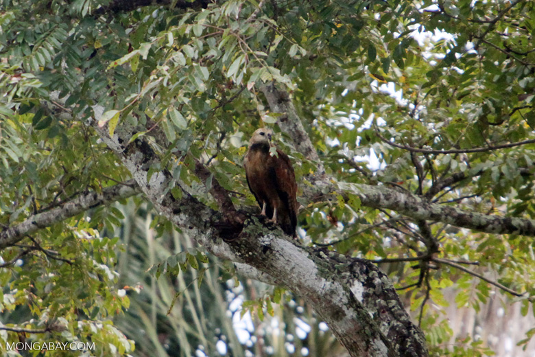 Hawk [colombia_4774]