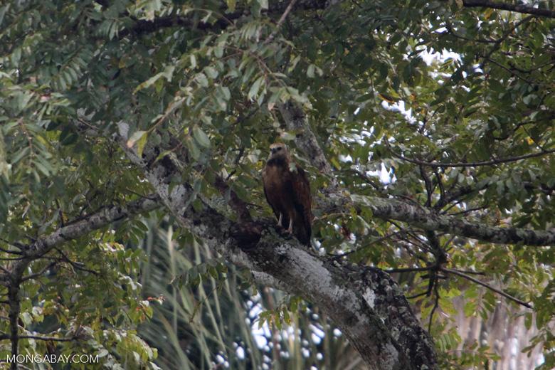 Hawk [colombia_4780]